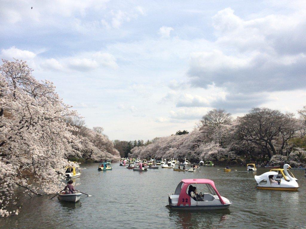Sakura in Kichijoji